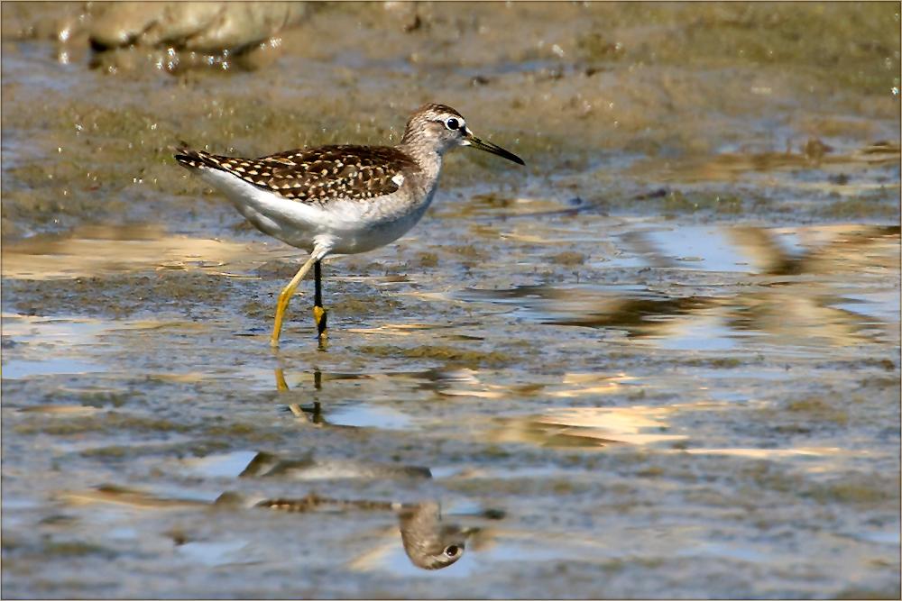 Watvögel: Bruchwasserläufer