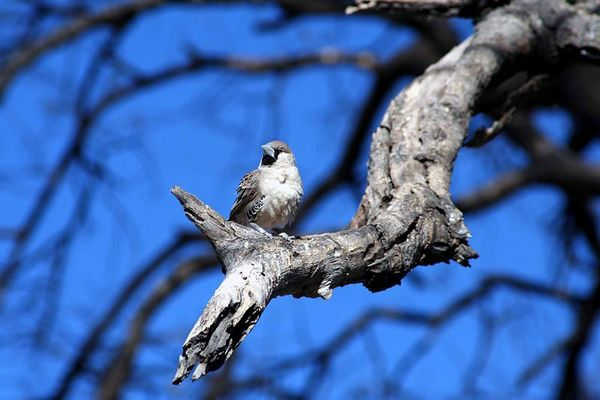Webervogel in Namibia