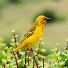 Webervogel in Südafrika