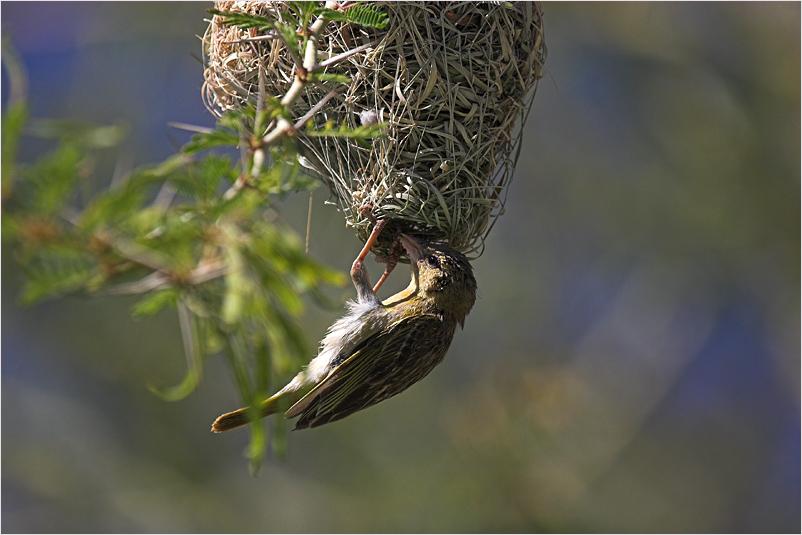 Webervogeldame bei der Nestkontrolle