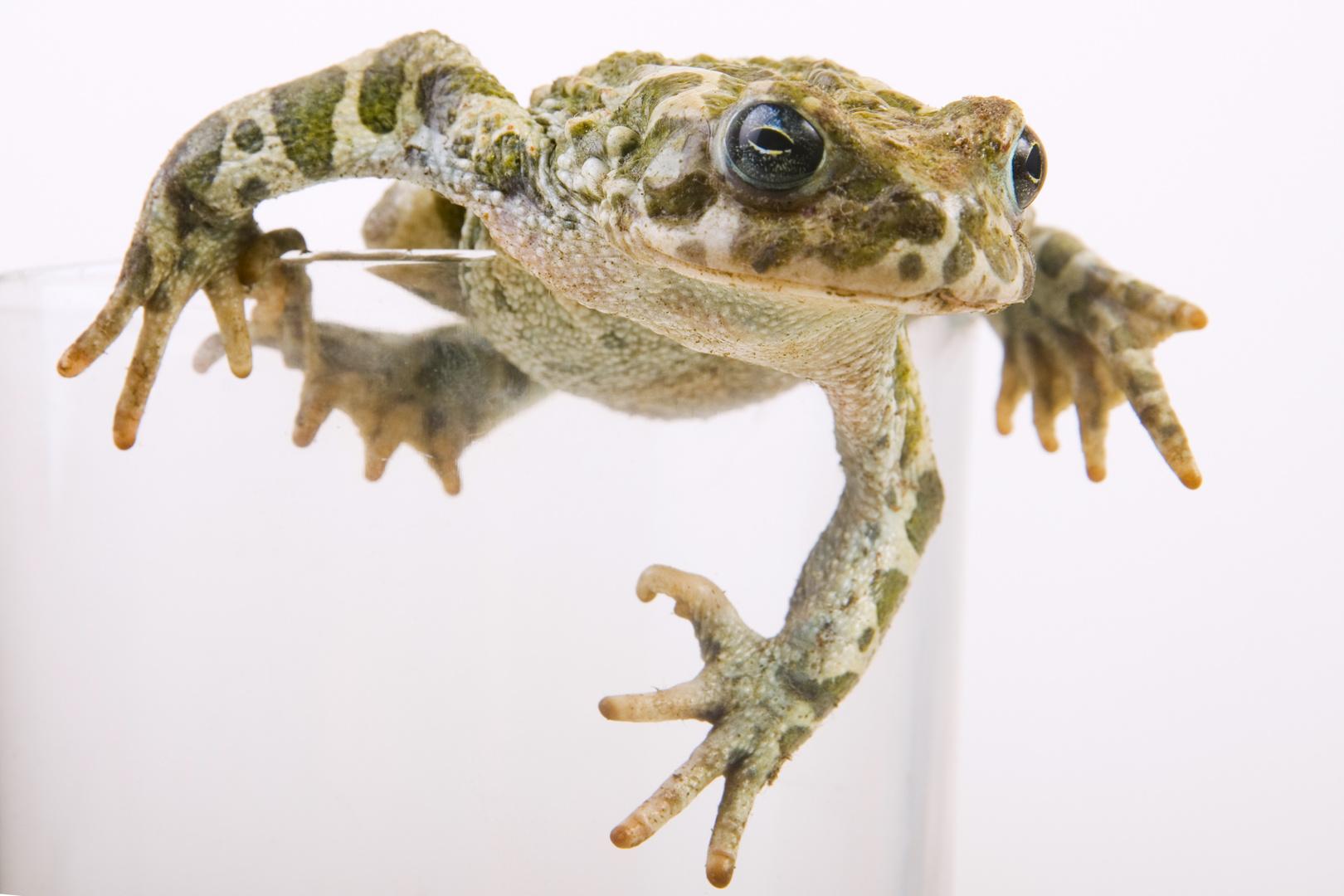 Wechselkröte (Bufo viridis) in einem Glas - European green toad (Bufo viridis) in a classes