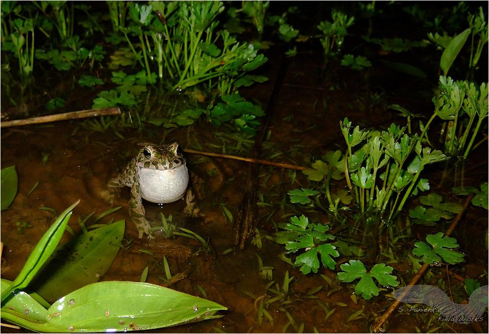 Wechselkröte in ihrem Lebensraum