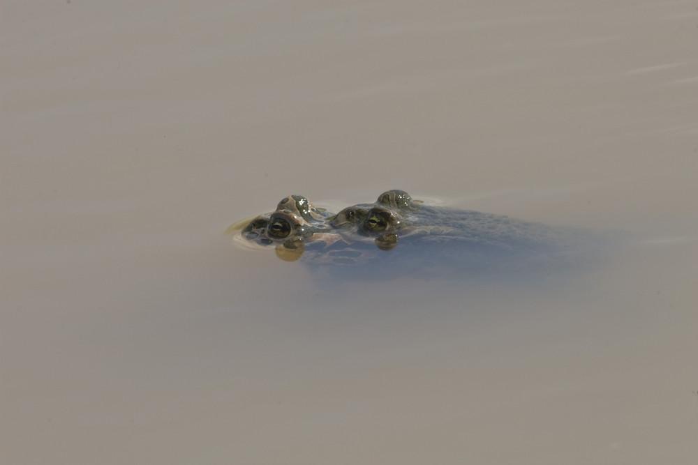 Wechselkrötenpaarung