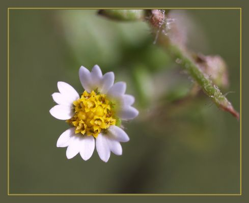 Wee Wildflower Twelve