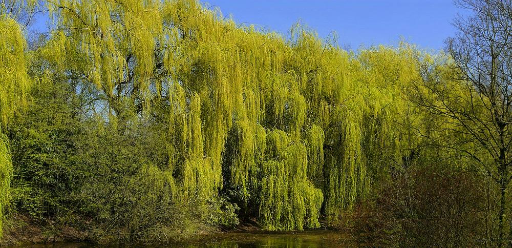 Weeping Golden Willow