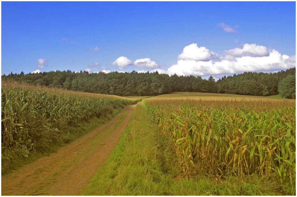 Weg durchs Maisfeld.