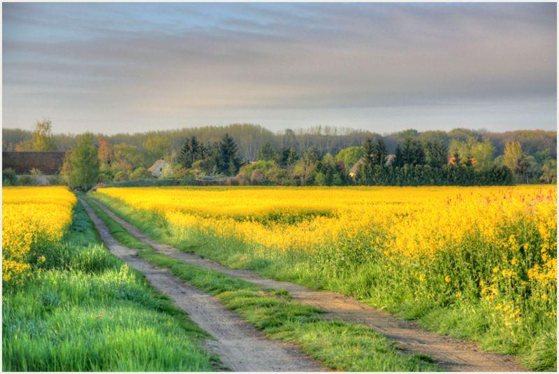 Weg durchs Rapsfeld im April