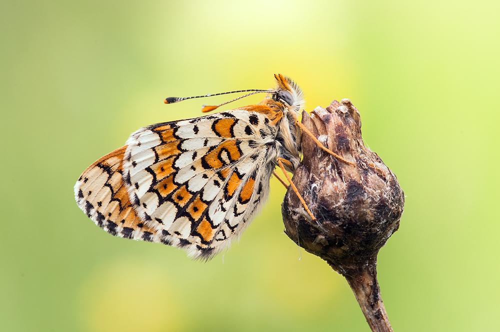 Wegerichscheckenfalter Melitaea cinxia)