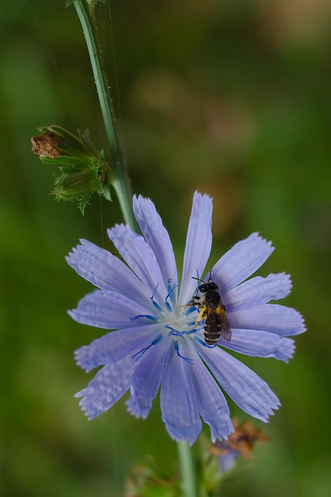 Wegwarte mit Biene