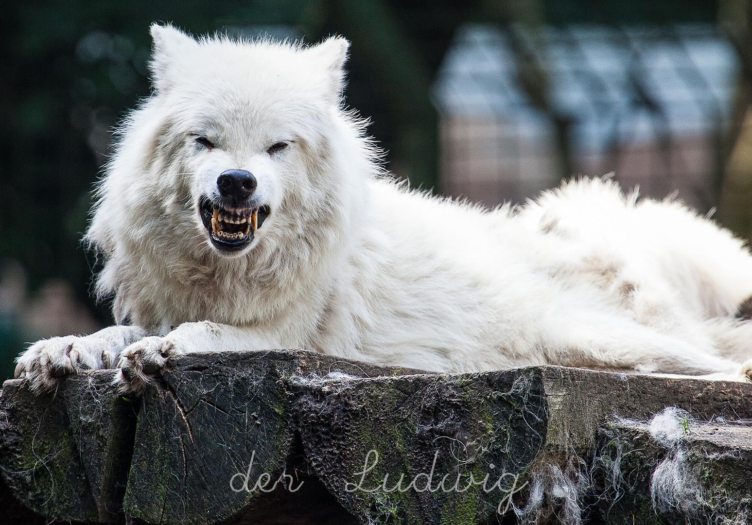 We(h)rwolf?