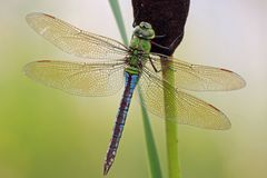 Weibchen Anax imperator