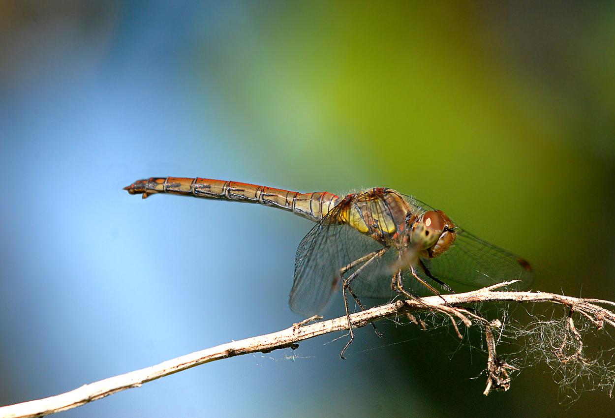 Weibchen der Gem.Heidelibelle