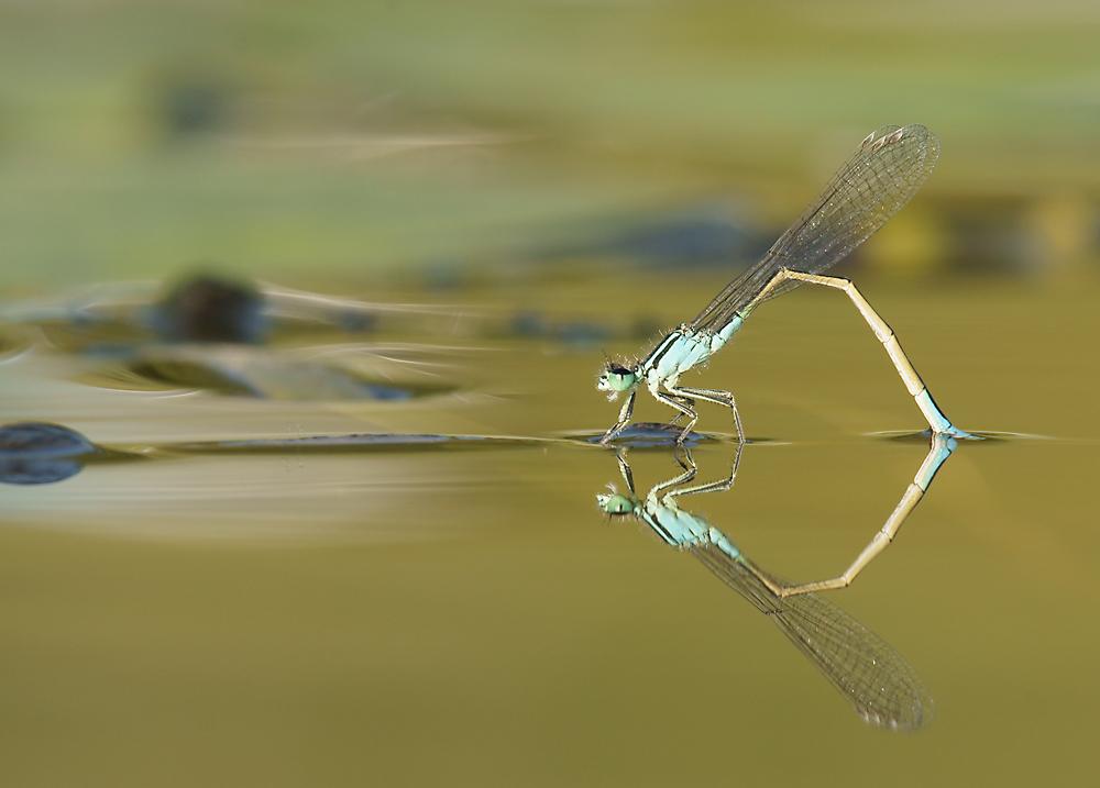 Weibchen der Großen Pechlibelle ...