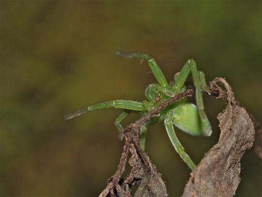 Weibchen der Grünen Huschspinne (Micrommata virescens)
