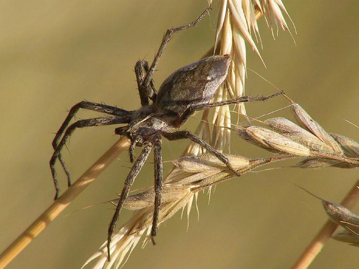 Weibchen der Listspinne Pisaura mirabilis
