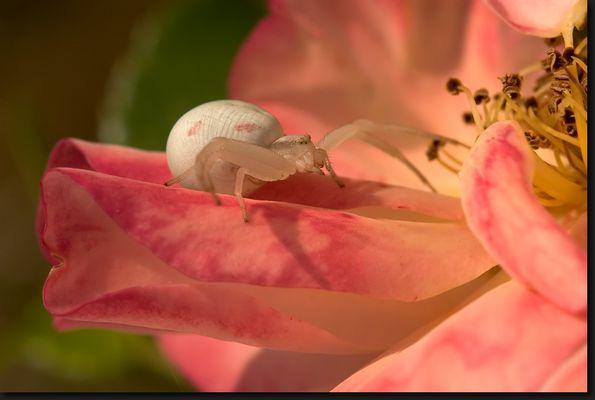 Weibchen der Veränderlichen Krabbenspinne auf Rosenblüten