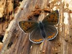 Weibchen des Lilagold-Feuerfalters (Lycaena hippothoe)