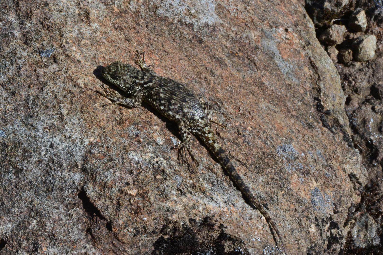 Weibchen des Malachit-Stachelleguans (Sceloporus malachiticus)