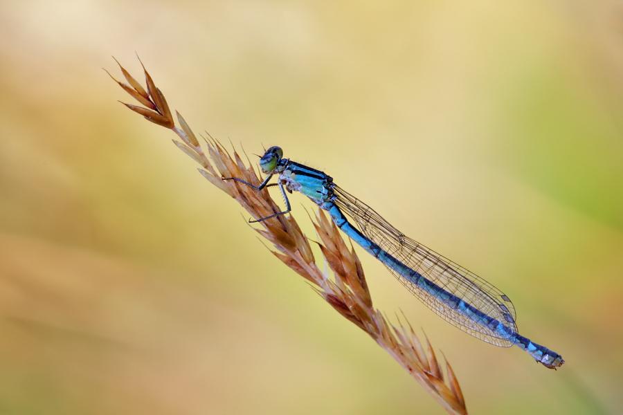 Weibchen Gemeine Becherjungfer - Enallagma cyathigerum