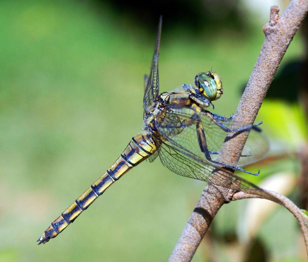 Weibchen Grosser Blaupfeil II