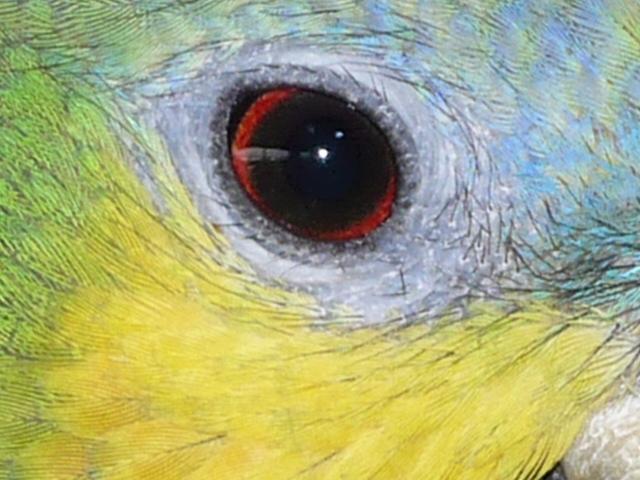 Weibchen V-Amazone