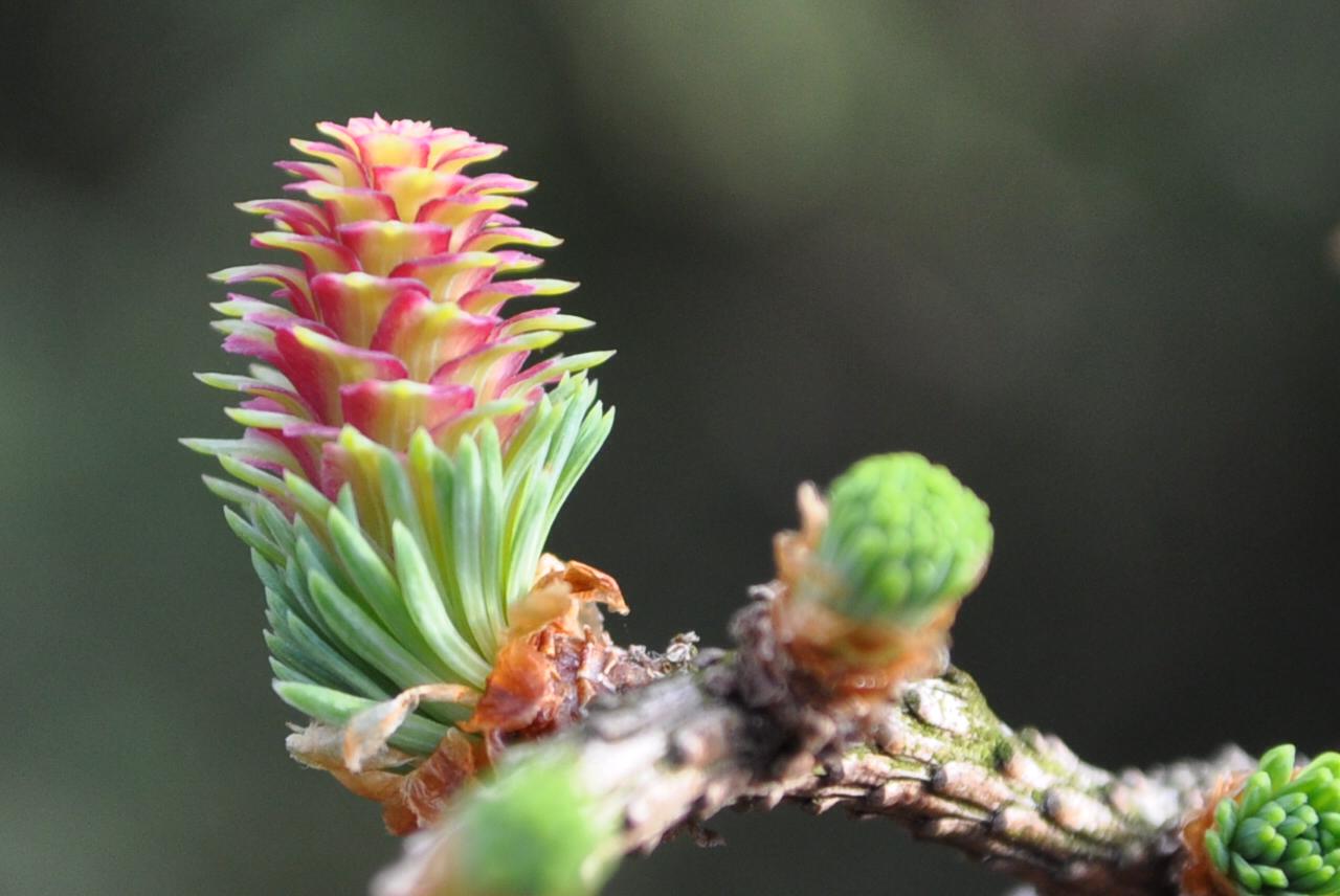 Weibliche Blüte der Lärche
