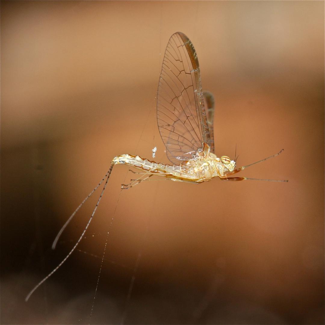Weibliche Eintagsfliege (Cleon dipterum) im Spinnennetz