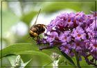 Weibliche Mistbiene, Schlammbiene oder Scheinbienen-Keilfleckschwebfliege ...