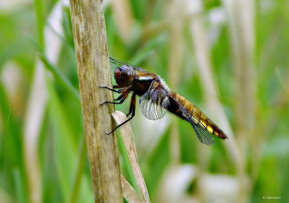 Weibliche Plattbauchlibelle