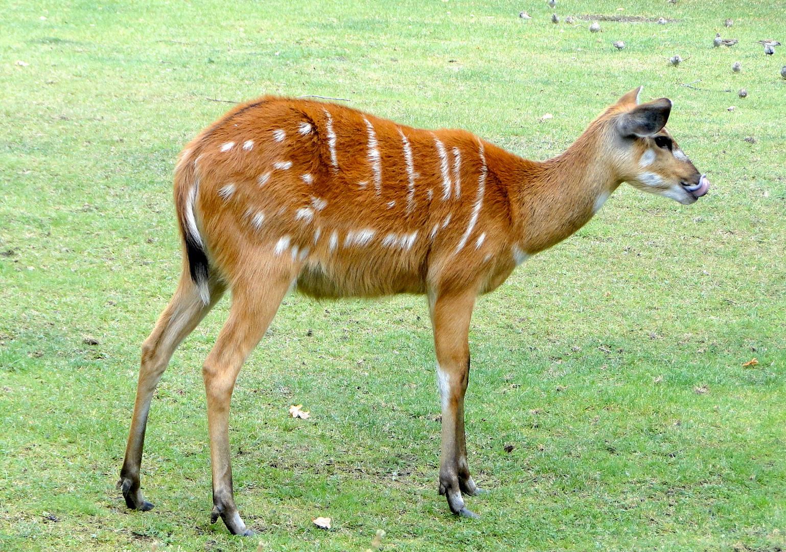 Weibliche Sitatunga-Antilope.