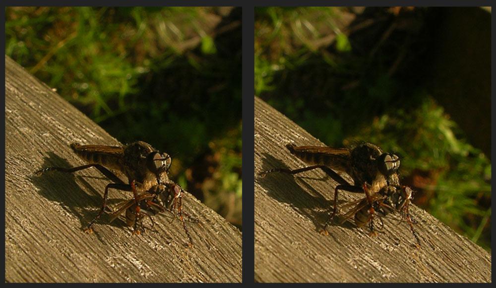Weibliche Skorpionsfliege mit Beute