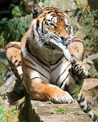 Weibliche Tiger?bestimmt, so wie die Schuhe liebt.........