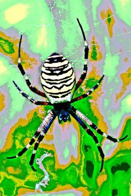 Weibliche Wespenspinne (Argiope bruennichi), ...