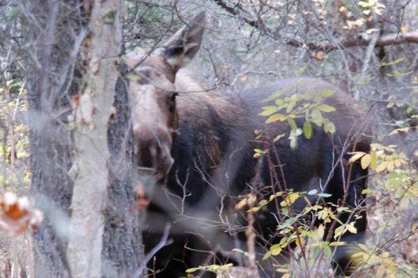 weiblicher Alaska-Elch (Alces alces gigas)