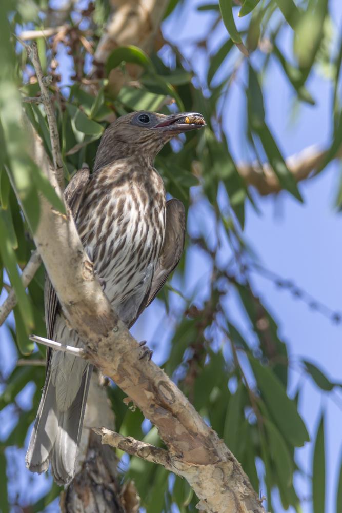 Weiblicher Figbird mit Beute