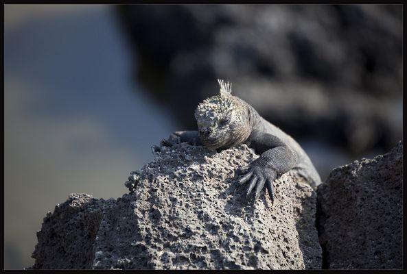 weiblicher Galapagos-Wasserleguan