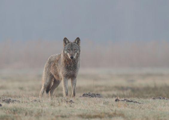 weiblicher Jungwolf