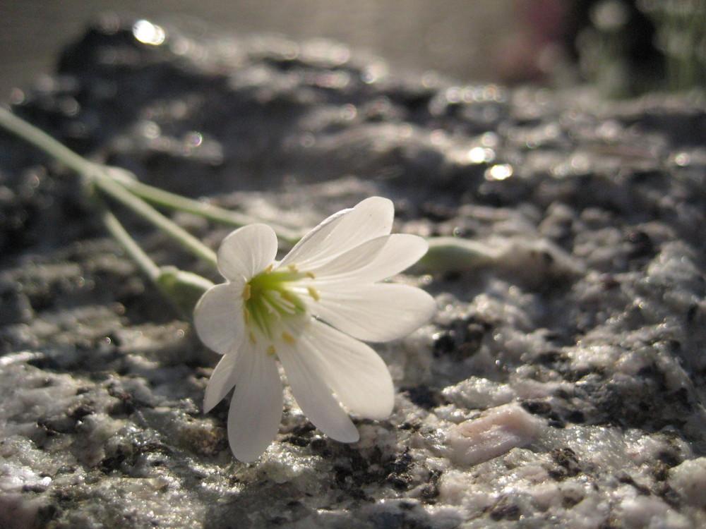 Weiche Blüte auf hartem Granit