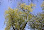 Weide - gegen den Himmel fotografiert