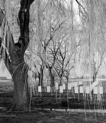 Weiden auf einem Soldatenfriedhof bei Peronne