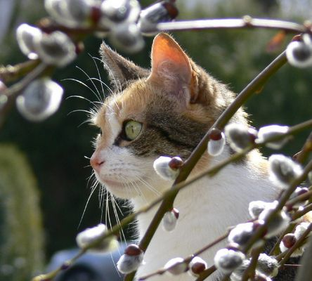 Weiden-Kätzchen II