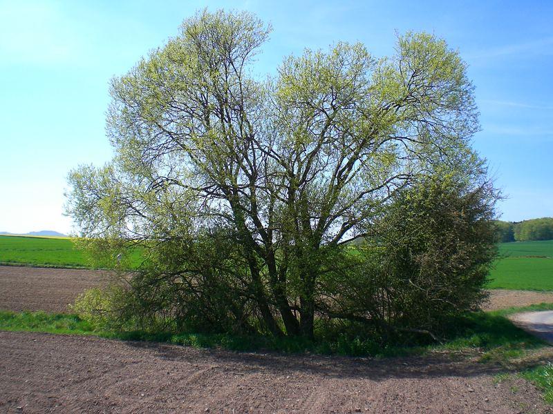 Weidenbaum im Etterbach