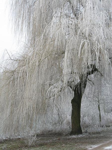 weidenbaum im rauhreif foto bild jahreszeiten winter. Black Bedroom Furniture Sets. Home Design Ideas