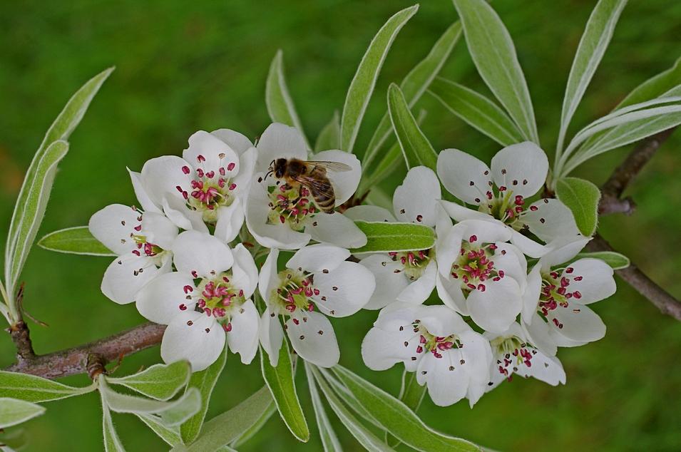 Weidenblättrige Birne