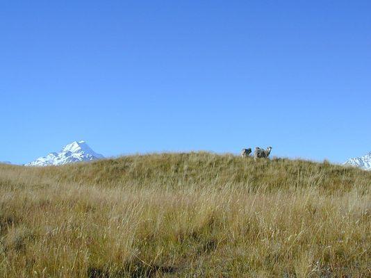 Weidende Schafe vor dem Mt Cook