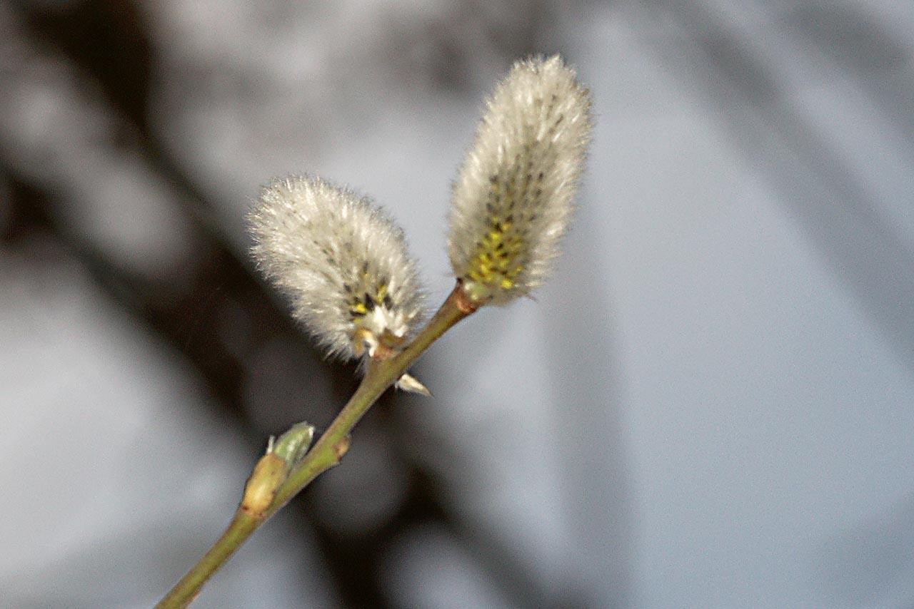Weidenkätzchen im 2013er Frühling