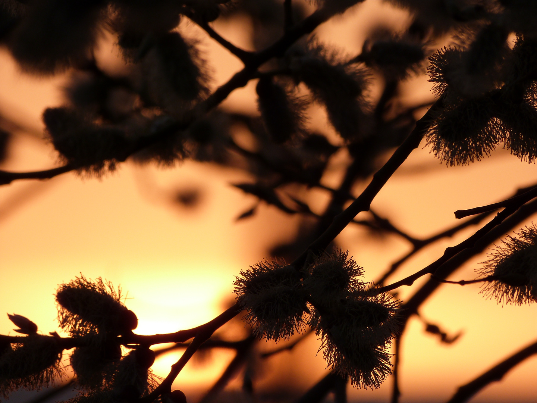 Weidenkätzchen im Sonnenuntergang