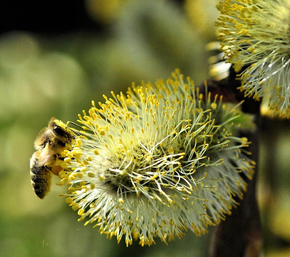 Weidenkätzchen mit kleiner Wildbiene