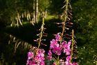 Weidenröschen und Birken
