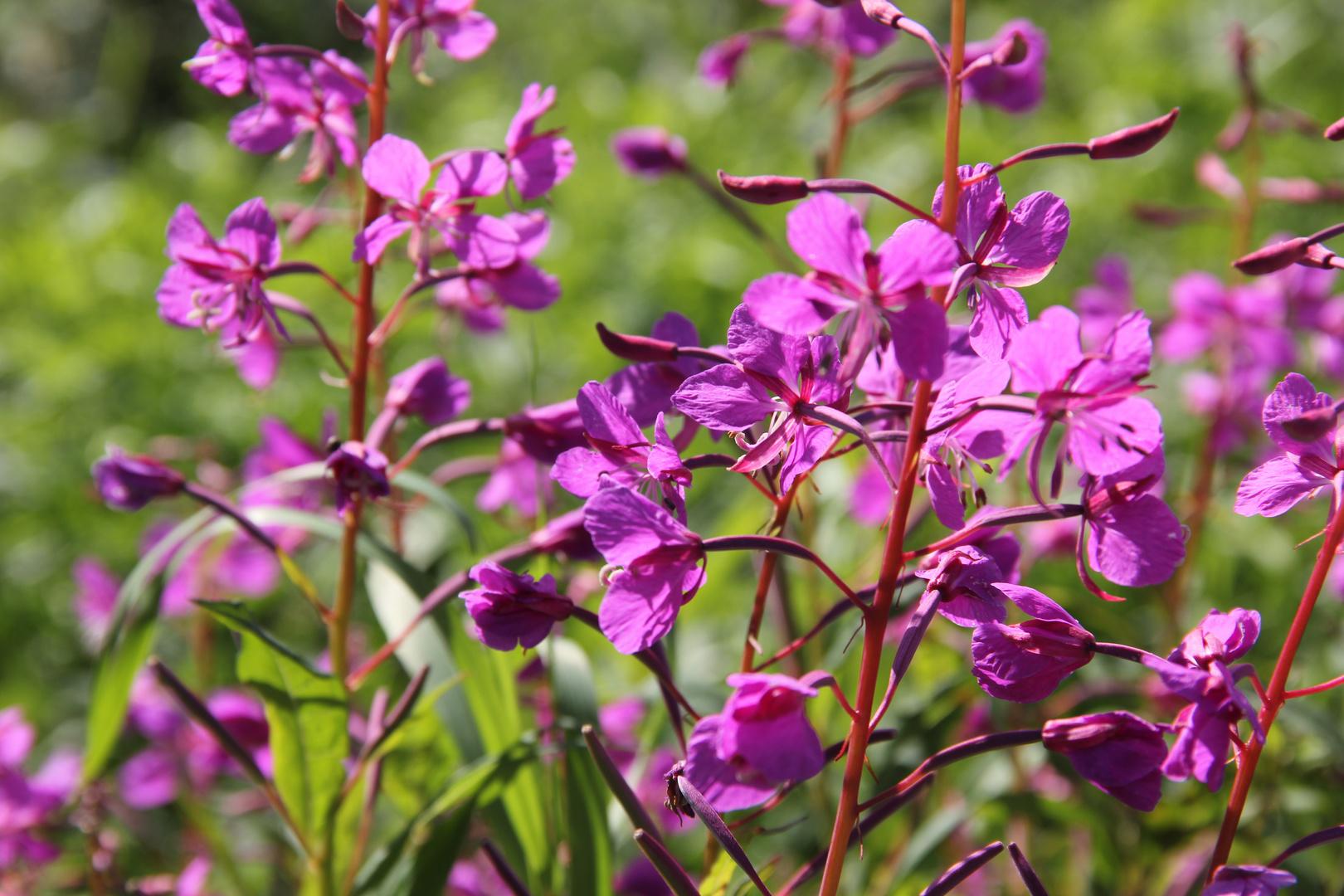 Weideröslein (Fireweed)